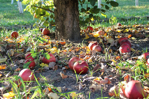 Reduce your foodprint - apples on the ground